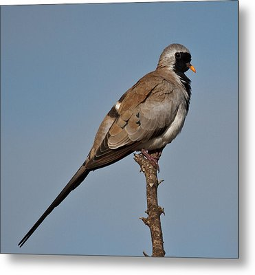 Namaqua Dove Metal Print by Annette Naude