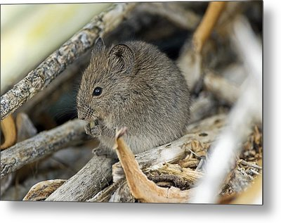 Namaqua Rock Mouse Metal Print by Peter Chadwick