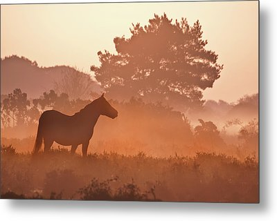 New Forest Pony In Mist At Dawn. Metal Print by Julie Mitchell/Southdowns Photographics