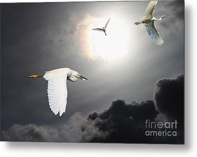 Night Of The White Egrets Metal Print by Wingsdomain Art and Photography