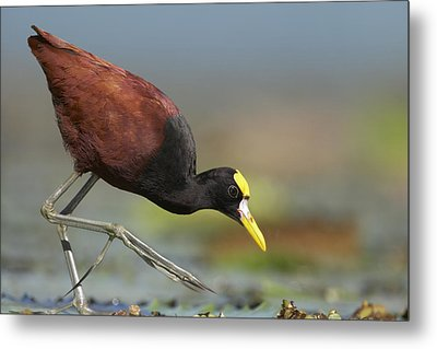 Northern Jacana Foraging Costa Rica Metal Print by Tim Fitzharris