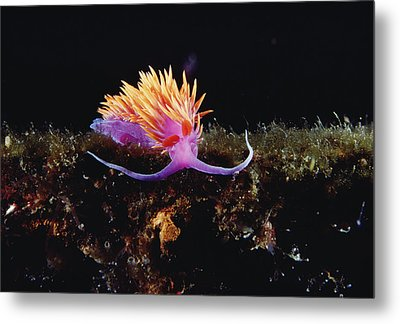 Nudibranch Brightly Colored Arctic Ocean Metal Print by Flip Nicklin