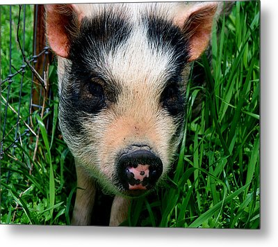 Oink-ing It Up... Metal Print by Elizabeth Gray