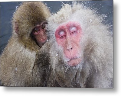Older Snow Monkey Being Groomed By A Metal Print by Natural Selection Anita Weiner