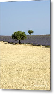 Olive Trees. Provence Metal Print by Bernard Jaubert