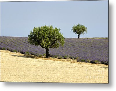 Olives Tree In Provence Metal Print by Bernard Jaubert
