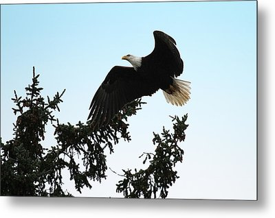 Olympic Bald Eagle Metal Print by David Yunker