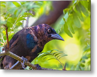 Ominous Molting Grackle Metal Print by Bill Tiepelman