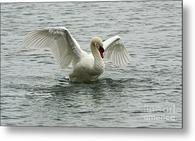 On The Wings Of A Swan Metal Print by Inspired Nature Photography Fine Art Photography