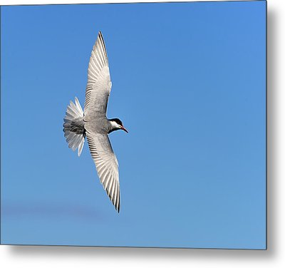 One Good Tern Deserves Another Metal Print by Tony Beck