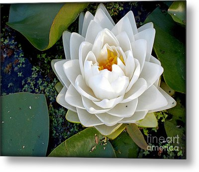 Optical Illusion In A Waterlily Metal Print by Kaye Menner
