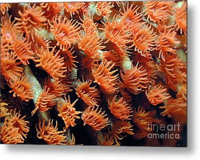 Orange Coral Polyps Metal Print by Sami Sarkis