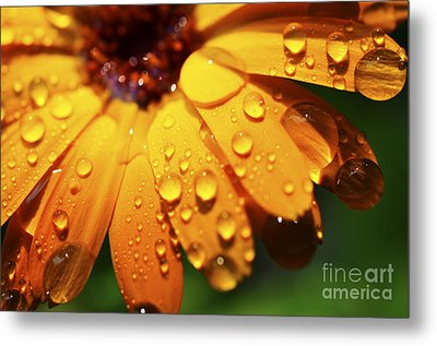 Orange Daisy And Raindrops Metal Print by Thomas R Fletcher