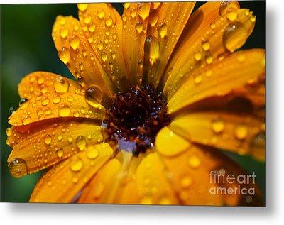 Orange Daisy In The Rain Metal Print by Thomas R Fletcher