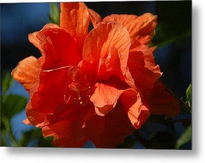 Orange Hibiscus Metal Print by Aimee L Maher Photography and Art Visit ALMGallerydotcom