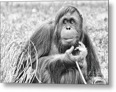 Orangutan Metal Print by Scott Hansen