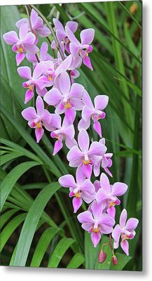 Orchids 15 Metal Print by Becky Lodes