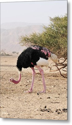 Ostrich On A Nature Reserve, Israel Metal Print by Photostock-israel