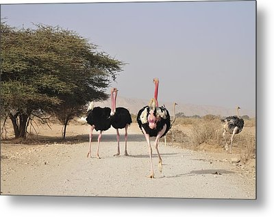 Ostriches In A Nature Reserve Metal Print by Photostock-israel