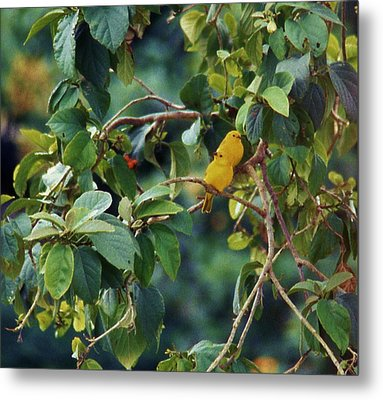 Pair Of Saffron Finches Metal Print by Craig Wood