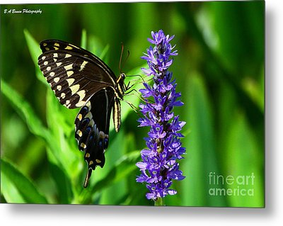 Palamedes Swallowtail Butterfly Metal Print by Barbara Bowen