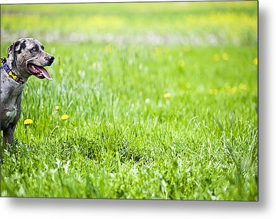 Panting Dog Standing In Meadow Metal Print by Stock4b-rf