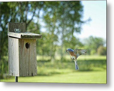 Papa Bluebird Bringing Supper Home Metal Print by Bonnie Barry