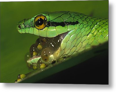 Parrot Snake Eating Tree Frog Eggs Metal Print by Christian Ziegler