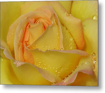 Peace Rose Metal Print by Nicola Butt