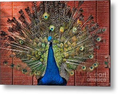 Peacock Tails Metal Print by Paul Ward