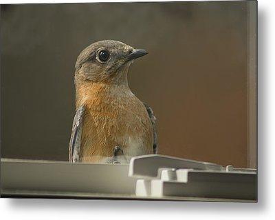 Peeping Bluebird Metal Print by Kathy Clark