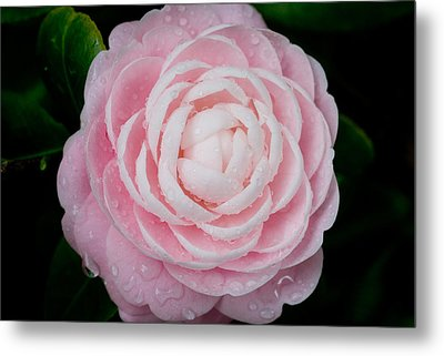 Pefectly Pink Metal Print by Rich Franco