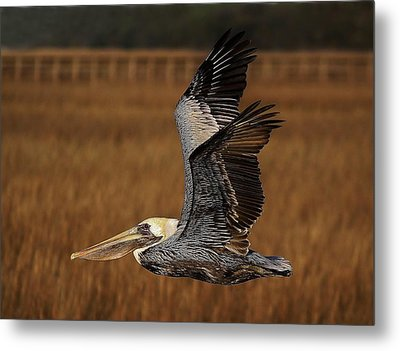 Pelican Flying Through The Marsh Metal Print by Paulette Thomas