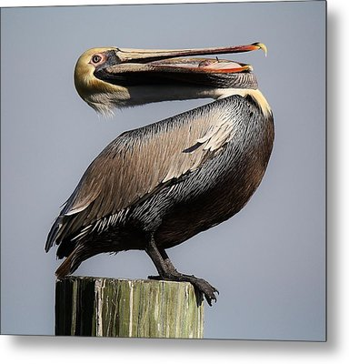 Pelican Perching Metal Print by Paulette Thomas