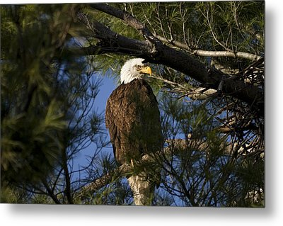 Picture Perfect Bald Eagle Metal Print by Joe Gee