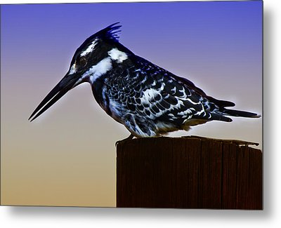 Pied Kingfisher Metal Print by Ronel Broderick