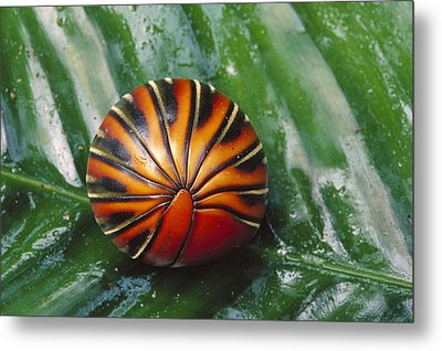 Pill Millipede Glomeris Sp Rolled Metal Print by Cyril Ruoso