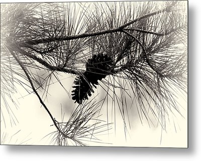 Pine Cones In The Treetops Metal Print by Douglas Barnard