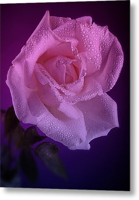 Pink And Blue Rose In The Rain Metal Print by M K  Miller