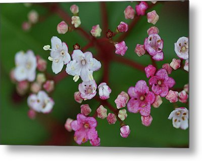 Pink And White Flowers Metal Print by Picture By La-ong