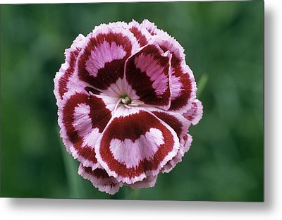 Pink (dianthus 'becky Robinson') Metal Print by Archie Young