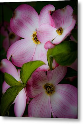 Pink Dogwood Blossoms Metal Print by David Patterson
