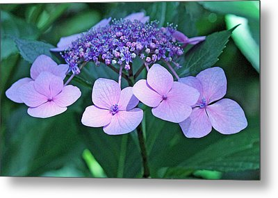 Pink Lacecap Hydrangea Metal Print by Becky Lodes