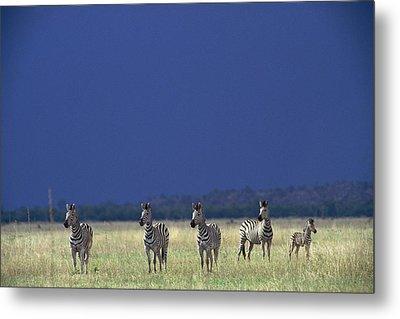 Plains Zebra Equus Burchelli In Chobe Metal Print by Beverly Joubert