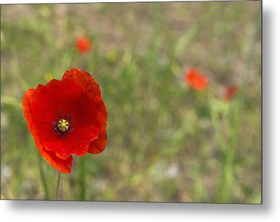 Poppies At Spring (close-up) Metal Print by Sami Sarkis