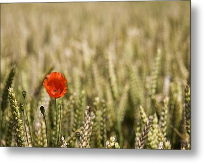 Poppy Flower In Field Of Wheat Metal Print by John Short