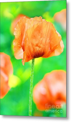 Poppy Flowers In May Metal Print by Anita Antonia Nowack