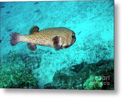 Porcupine Fish Metal Print by Sami Sarkis