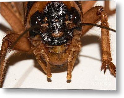 Portrait Of A Cricket Metal Print by Mareko Marciniak