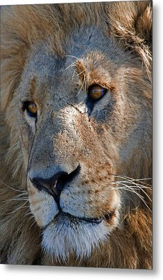 Portrait Of A Male African Lion Metal Print by Beverly Joubert